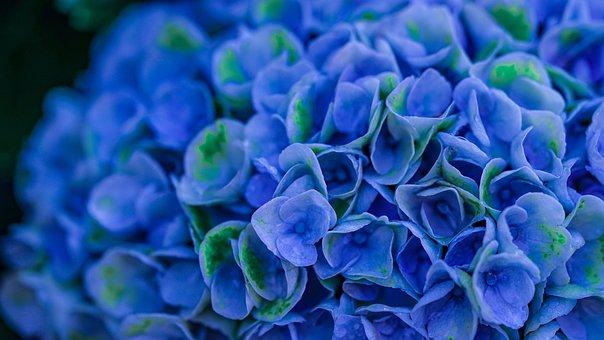Hydrangeas, Blue, Hydrangea, Blossom, Bloom, Flowers