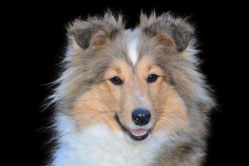 Collie, Dog, Isolated, Pet, Animal, Purebred Dog