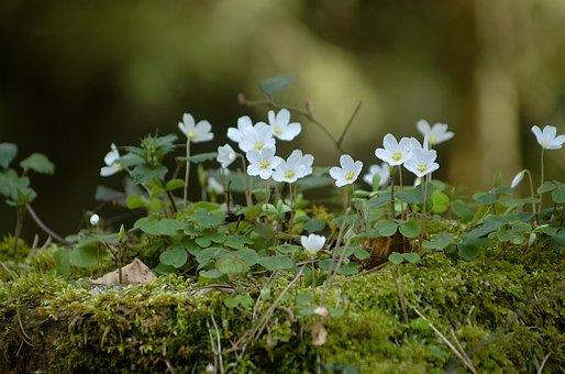 Klee, Clover, Flowers, Red Clover, Forest, Moss