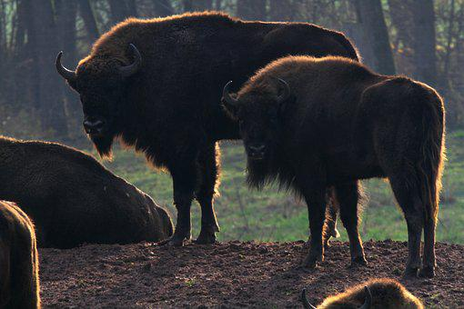 Wisent, Buffalo, Bison, Massive, Beef, Horns, Animal