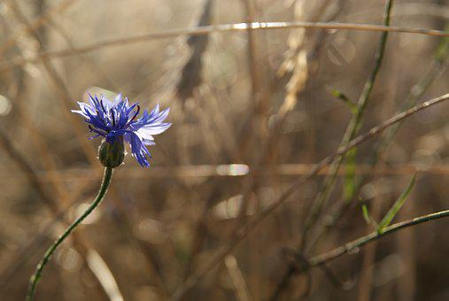 Cornflower, Blue Flower, Flower, Nature, Stroh, Straw