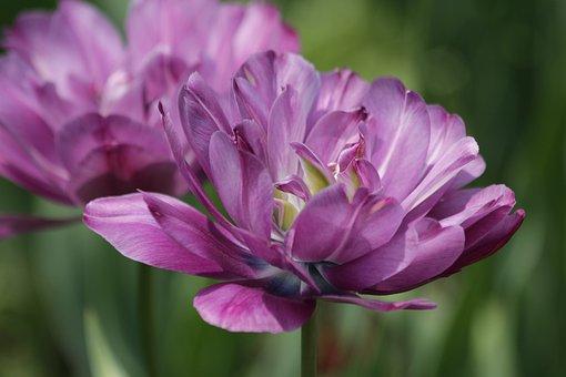 Tulip, Flower, Spring, Season, Nature, Bloom, Garden