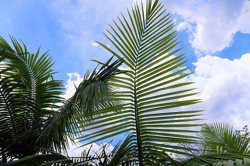Palm, Tropical, Exotic, Nature, Sky, Green, Leaves