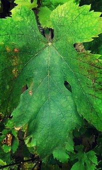 Leaf, Grape Leaf, Plant, Nature, Grape, The Vine Leaf