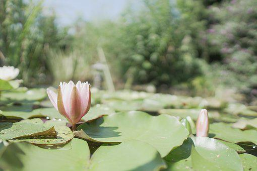 Water Lily, Pond, Flower, Blossom, Bloom, Nature, Water