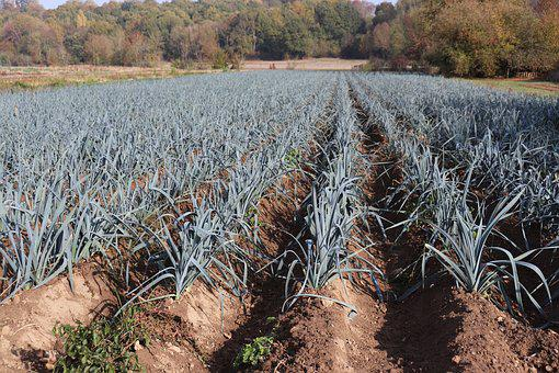 Leeks, Fields, Gardening, Agriculture, Power, Plants