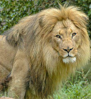 Lion, Male, Animal, Predator, Dangerous, Africa, Mane