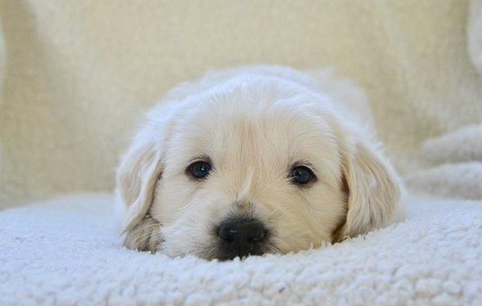 Puppy, Golden Retriever Puppy, Dog, Animal, Canine