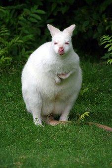 Kangaroo, Albino, White, Rarely, Marsupial, Nature