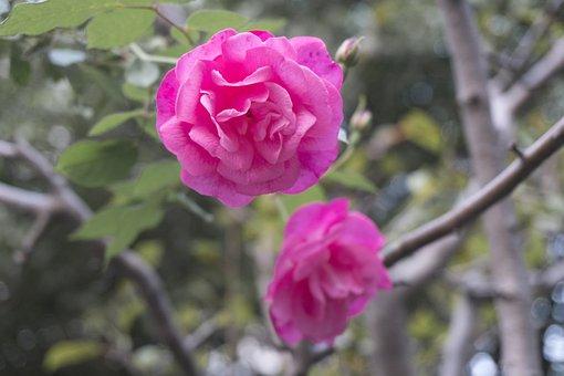 Pink, Rose, Garden, Flower, Romantic, Flowers