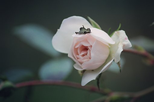Rose, Flower, Plant, Autumn, Lonely, Alone, Cold
