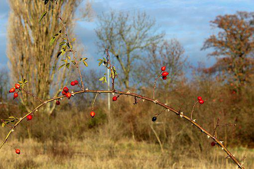 Wild Rose, Rose Hips, Red, Autumn, Figure, In The Fall