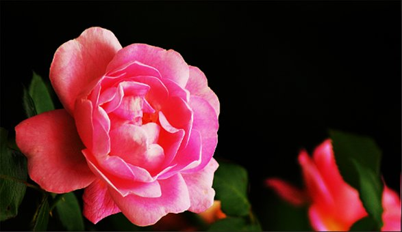 Rose, Flower, Pink, Red, Nature, Blossom, Bloom, Plant