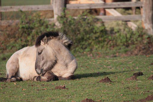 Tarpan, Wild Horse, Shaggy, Conservation Project, Horse