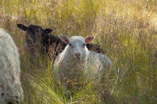 May, Sheep, Animals, Cattle, The Sheep, Wool, Grass