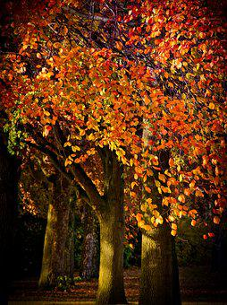 Autumn, Leaves, Tree, Beech, Mood, Autumn Colours