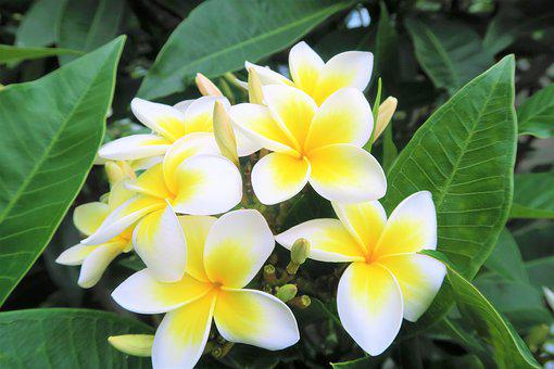 Tropical, Flower, Nature, Leaves, Plant, Rose, Garden