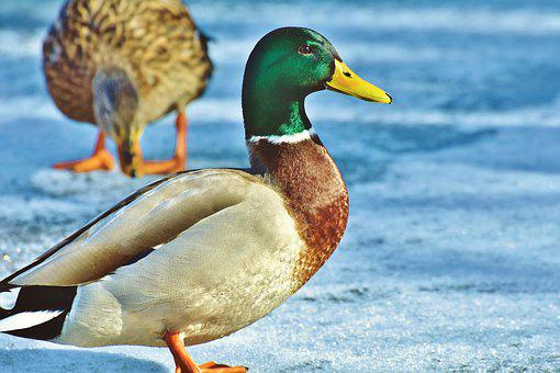 Duck, Mallard, Water Bird, Duck Bird, Poultry, Bill