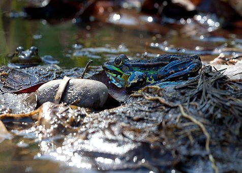 Frogs, Mosquitoes, Pond, Frog, Nature, Water, Animal