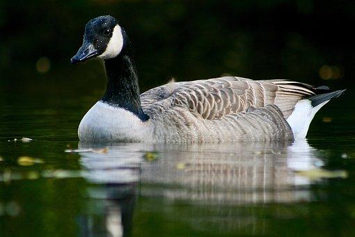 Canada Goose, Goose, Water Bird, Water, Plumage