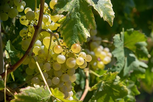 Grapes, Vintage, Autumn, Winegrowing, Wine, Nature