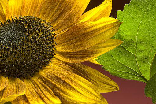 Sunflower, Flowers, Yellow, Bloom, Summer, Plant