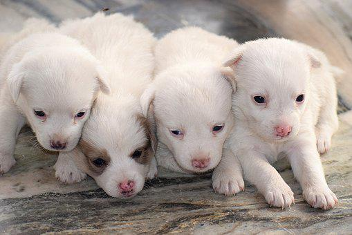 Puppies, Cute, Pet, Animal, Adorable, Puppy, Dog