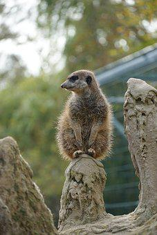 Meerkat, Animal, Cute, Mammal, Nature, Zoo, Sweet
