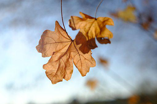 Autumn, Leaves, Dry, Branch, Maple, Maple Leaf