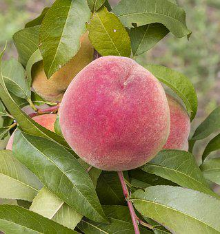 Peach, Autumn Rack, Fruit, Stone, Mature, Summer