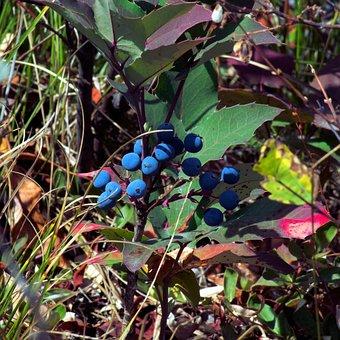 Berries In The Tetons, Blue, Berries, Grand, Teton