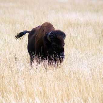 Buffalo Near Kelly Wyoming, Bison, Nature, Buffalo