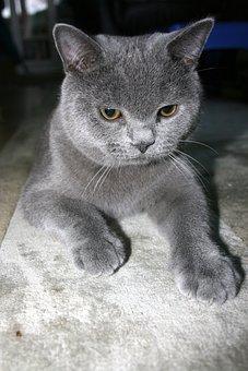 Cat, Bkh, Pet, Animal, Domestic Cat, Animal World