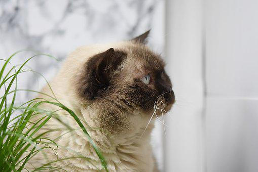British Shorthair, Cat Grass, Eat, Cat, Mieze