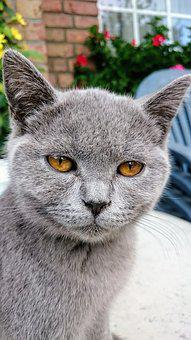 Cat, Pets, British Shorthair, Breed Cat, Gray Cat