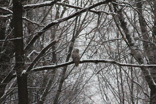 Owl, Forest, Bird, Branch, Tree, Predator, Nature, Cold