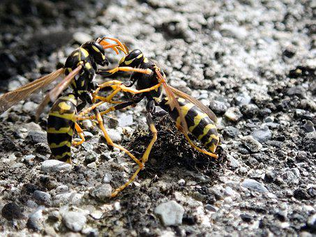 Wasps, Insect, Fight, Argue, Dispute, Close Up, Macro