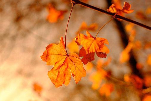 Maple, Maple Leaf, Autumn, Leaves, Dry, Branch