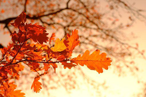 Oak Leaves, Leaves, Fall Foliage, Golden October