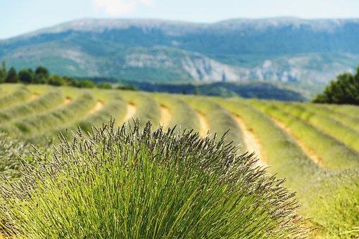 Lavender, Lavender Field, Farmland, Agriculture