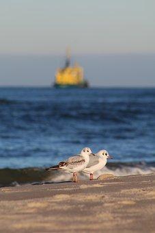 Seagull, Bird, Sea, Animals, Flight, Nature, Wings