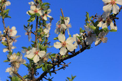 Flower, Almond Tree, Flowering, Flowers, Rosa, Almond