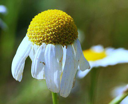 Chamomile, Flowers, Meadow, Botany, Medicinal Plant