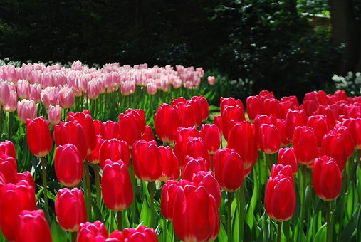Tulips, Red Tulips, Spring Gardens, Park, Flowers