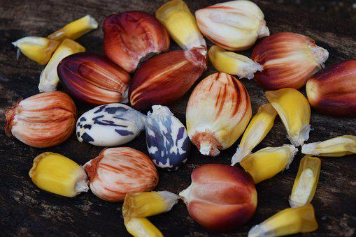 Seed, Corn, Nature, Agriculture, Food, Field, Plant