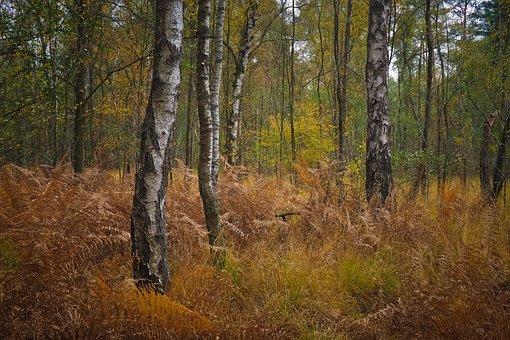 Forest, Birch, Nature, Landscape, Trees, Autumn, Season