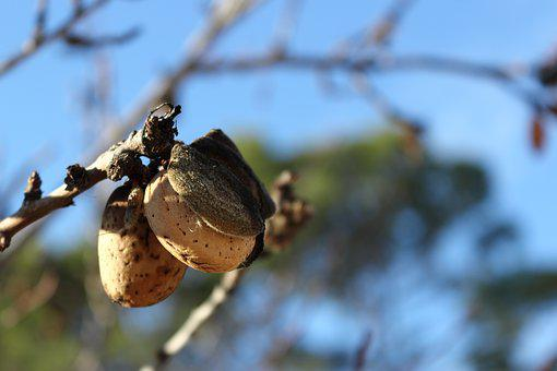 Nature, Almond, Tree, Detail, Branches, Fruit