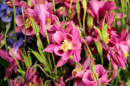 Akelei, Pink, Flower, Garden, Aquilegia, Lush