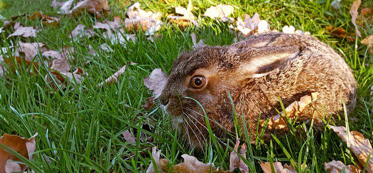 Nature, Long Eared, Hare, Animal, Grass, Meadow, Cute