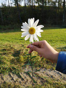 Flower, Hand, Marguerite, Meadow, Plant, Keep